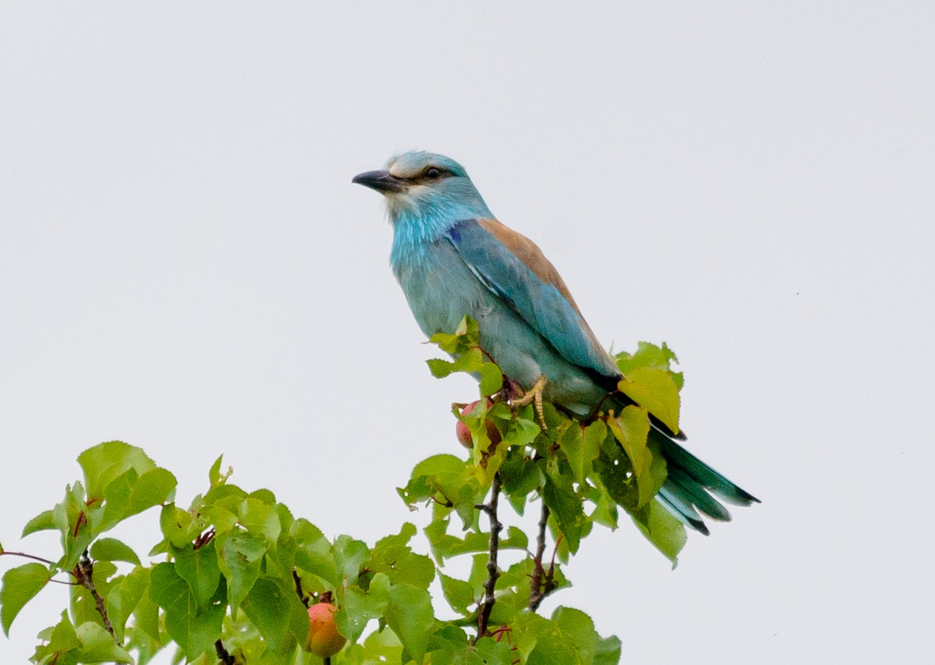 Sininärhi - Blåkråka